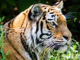 Tiger kills female zookeeper at zoo in England