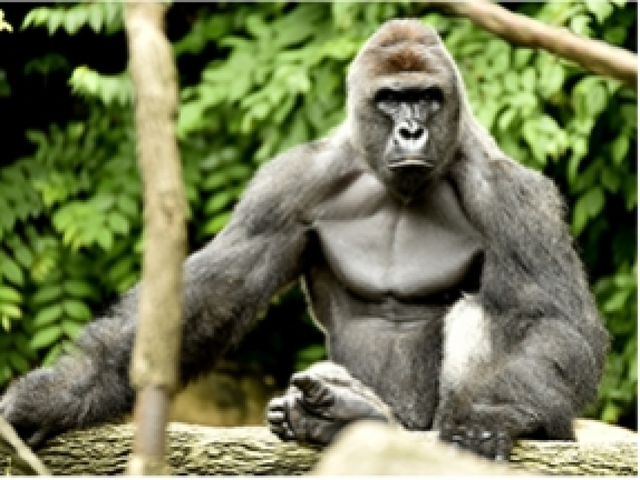 Ohio zoo reopens exhibit where boy fell, gorilla was shot