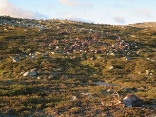 More than 300 reindeer found dead in Norway