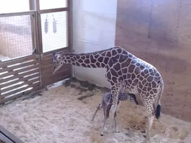 April the Giraffe gives birth, finally