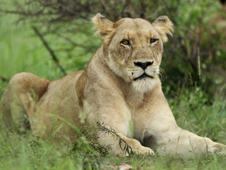 Lions eat suspected poacher in South Africa